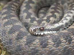 A grey adder showing its eye in detail