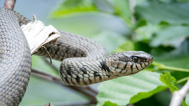 A grass snake showing its  distinctive yellow and black collar