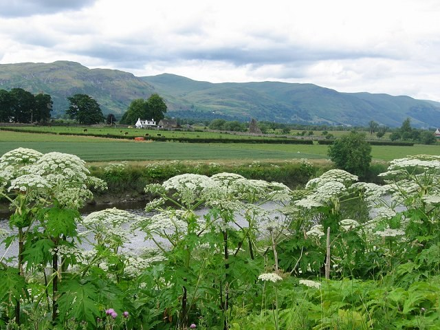 Giant hogweed along a riverside near Stirling, Scotland.